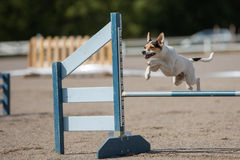 Dog jumps over an hurdle Stock Image