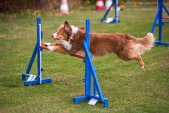 Dog jumps over a hurdle Stock Photos
