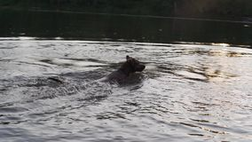 The dog jumps and swims in the river