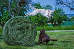 Dog jumps from a tall hey ball. To play with another dog royalty free stock images