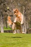 Dog Jumps To Catch Ball. Action capture of a Golden Retriever dog jumping up in the air to catch a tennis ball in a grass meadow setting Royalty Free Stock Image