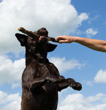 Dog jumps to grab a stick Royalty Free Stock Image