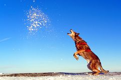The dog jumps up into the snow. Brown crossbreed dog playing in the snow. Medium-sized dog. In the background of the blue sky. Winter scenery, snow on the rocks stock photos