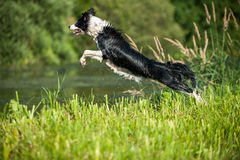 Dog jumps Stock Images