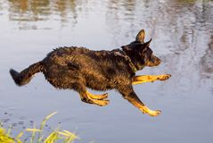 Dog jumps into the water from the shore Stock Photos