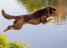 Dog jumps into the water from the shore Royalty Free Stock Photo