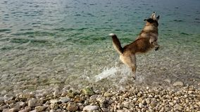 Dog jumps in the water. Trying to catch the stone Stock Images