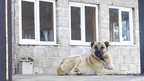 dog kangal Royaltyfria Foton