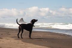 Dog in Karekare Beach. Dog black on Karekare beach, New Zealand Royalty Free Stock Photos
