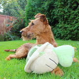 Dog keeper. Alert Terrier with big toy in the garden stock photos