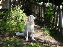 Dog keeping guard. This white royal looking dog, which seems to be very peaceful, is doing its job Stock Images