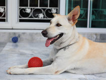 Dog keeping a red ball to play. Adorable dog keeping a red ball to play by its leg Stock Photo