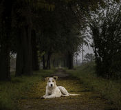 Dog keeps keeps the passage. White dog  keeps passage, surrounded by trees Stock Images