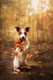Dog keeps paws yellow leaf. Obedient Jack Russell Terrier in the autumn in the park Stock Images