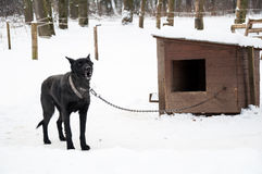 Dog on kennel chain. Black dog on chain by the kennel in winter Royalty Free Stock Photos