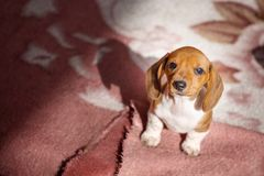 Dog-kennel dachshund puppies day. Light stock images