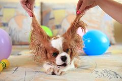 King Charles Spaniel stock images