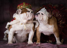 Dog king and queen. King and queen - two english bulldogs dress like a king and queen stock photo