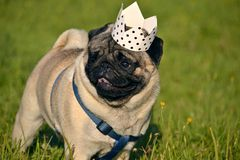Dog-King. Young pug-dog.Young energetic dog on a walk. Sun. Funny face. How to protect your dog from overheating. royalty free stock photos