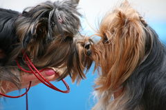 Dog kiss. The two dogs looked at each other and kissed Stock Photos