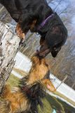 Dog kisses. Miniture dachsund and a yorkie kissing in the yard Stock Images