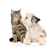 Dog kisses cat. isolated on white background Royalty Free Stock Photos