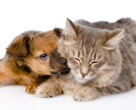 Dog kisses cat.  on white background Royalty Free Stock Photos