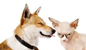 Dog kisses a kitten. Isolated on a white background Stock Photo