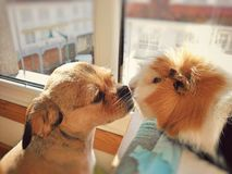 Dog kissing her friend guinea pig royalty free stock photo