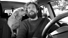 Dog kissing man in car while driving. Funny man getting kissed by his dog royalty free stock image