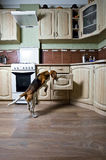 Dog in kitchen Stock Image
