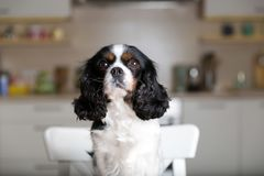 Dog on kitchen chair Stock Photos
