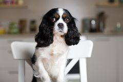 Dog on kitchen chair Stock Images