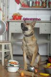 Dog in the kitchen Stock Photography
