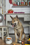 Dog in the kitchen Royalty Free Stock Photo
