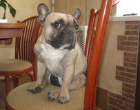 11.07.2014. Dog in kitchen. French Bulldog. Stock Photo