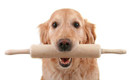Dog with kitchen roller Royalty Free Stock Images