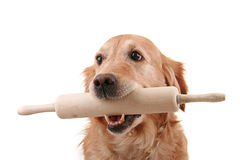 Dog and kitchen roller Royalty Free Stock Photo