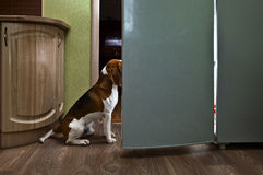 Dog in kitchen Stock Images