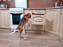 Dog in kitchen Royalty Free Stock Image