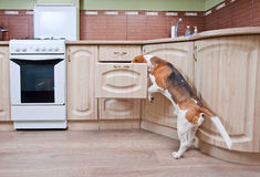 Dog in kitchen royalty free stock photo