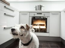 Dog in a kitchen. Dog is waiting for his healthy meal in a modern kitchen Royalty Free Stock Photo