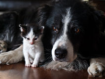 A dog with a kitten. An old dog looking after a baby kitten stock photo