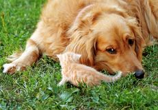 Dog and kitten. Orange golden retriever dog and baby cat outdoor on green grass Stock Photo
