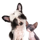 Dog and kitten. Hairless dog and sphinx kitten stock images