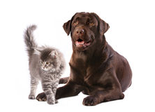 Dog and kitten. Labrador dog and kitten maine coon royalty free stock image