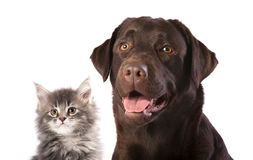 Dog and kitten. Labrador dog and kitten maine coon royalty free stock photos