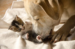 Dog and kitten. Labrador Retriever mix dog and one month old kitten lying on blanket with dog caring for kitty royalty free stock images