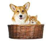 Dog and kitten looking Stock Photos