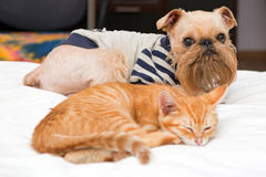 Dog and kitten sleeping together Royalty Free Stock Image